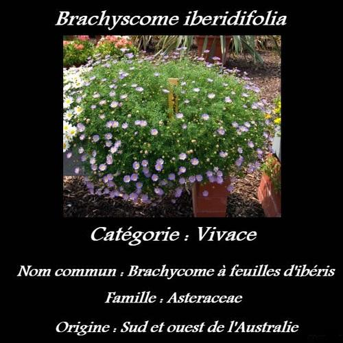Brachyscome iberidifolia