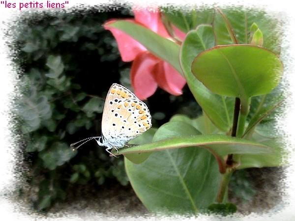 joli-papillon-dipladenialpl.jpg