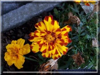 Fleur jaune et rouge