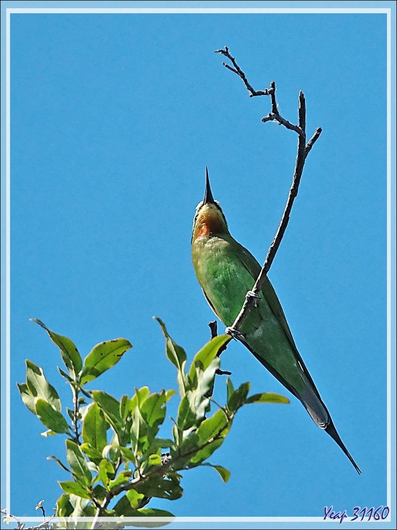 Guêpier de Perse, Blue-cheeked Bee-eater (Merops persicus) - Safari nautique - Parc National de Chobe - Botswana