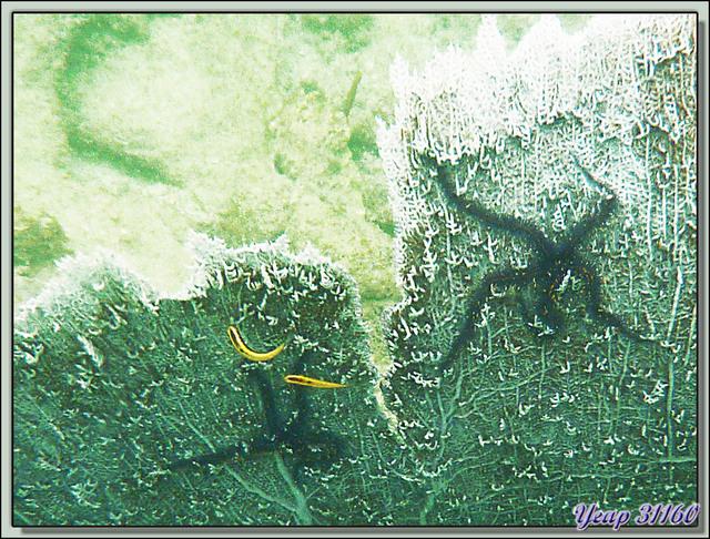 Blog de images-du-pays-des-ours : Images du Pays des Ours (et d'ailleurs ...), Snorkeling à Isla Bastimentos, Panama: Coraux, Ophiures fragiles (Brittle stars) sur gorgone