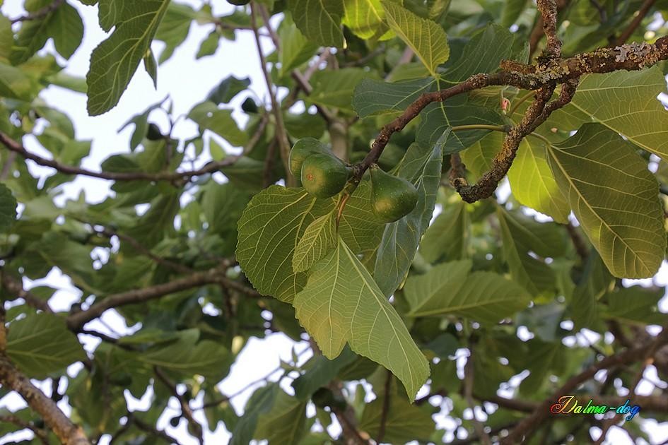 je pense que nous allons manger des figues !!!!!
