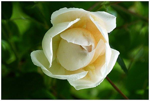 rose-creme.jpg