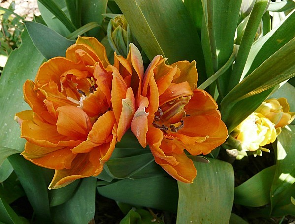 Tulipe-Little-Princess-orange--17-04-2010-020.jpg