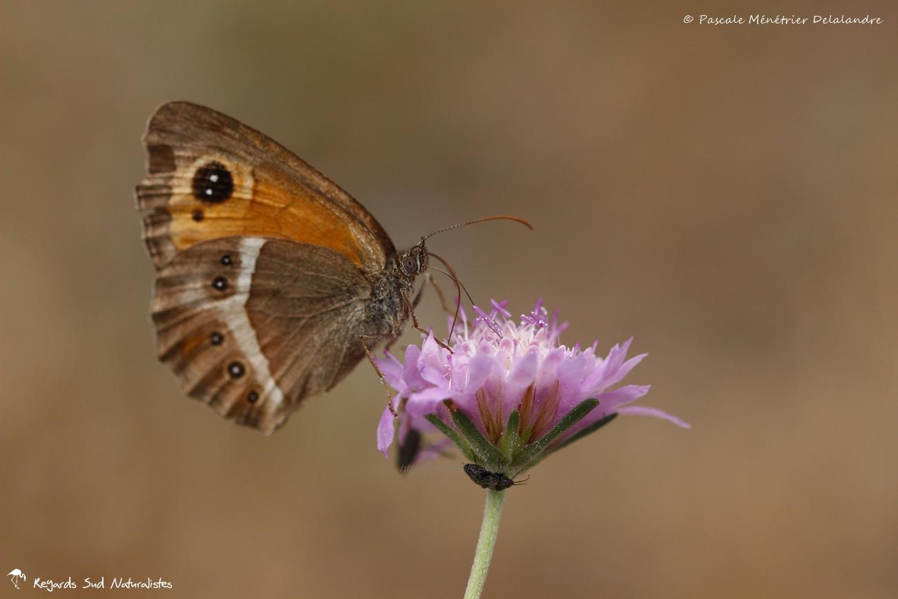 Ocellé rubané ou Tityre - Pyronia bathseba - Nymphalidae