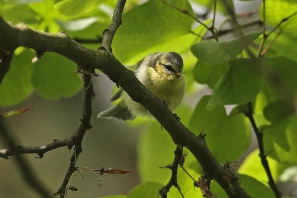 Quelques nouvelles des oiseaux nicheurs de Paris avant de partir en vacances