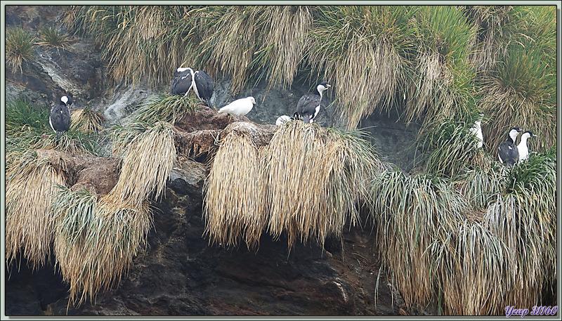 Chionis blanc, Snowy Sheathbill (Chionis albus) - Cooper Bay - Géorgie du Sud