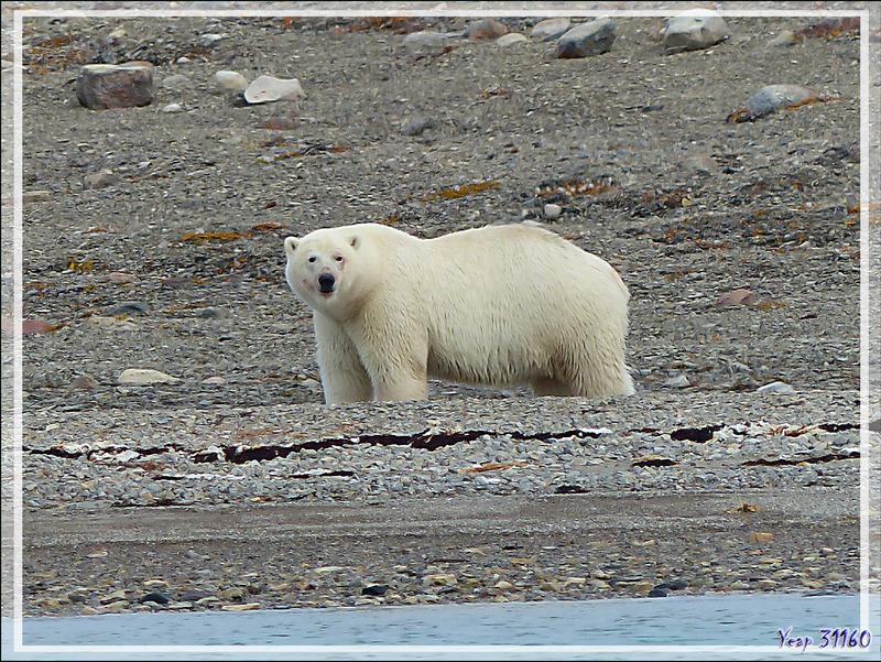 Un énorme mâle s'approche, ce sera le huitième ours polaire observé dans la journée - Guillemard Bay - Prince of Wales Island - Nunavut - Canada
