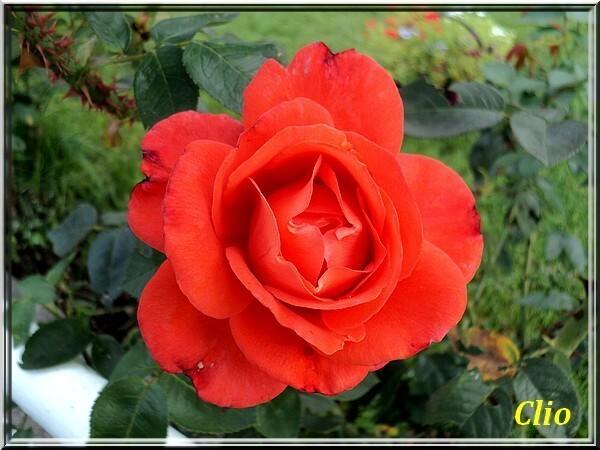 ROSES 1 (2)