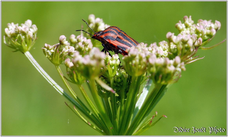 Punaise Arlequin / Graphosoma italicum