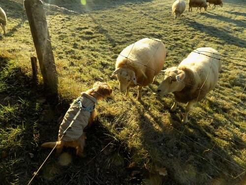 Woopy et les bedots ( moutons)