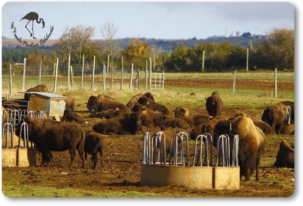 Bisons d'Europe (Lanuéjols - Gard)