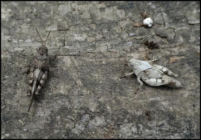 Oedipoda caerulescens.