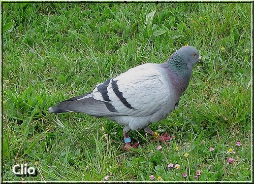 PIGEON PHOTO PERSO