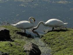 Les lônes et les bords du Rhône : écosystèmes et biodiversité