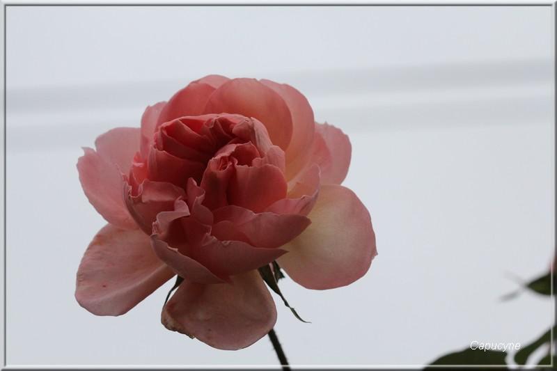 Rose de décembre dans la lumière du soir...