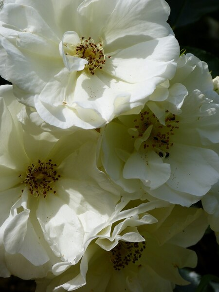 Mes roses de chez Daniel Schimtz