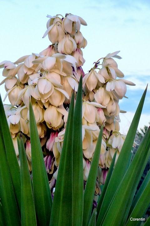 Le Yucca En Fleur 2 Corentin 31