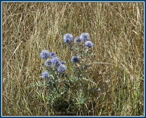 Image 120...Bordures 18...Fleurs dans les Alpes 2009...
