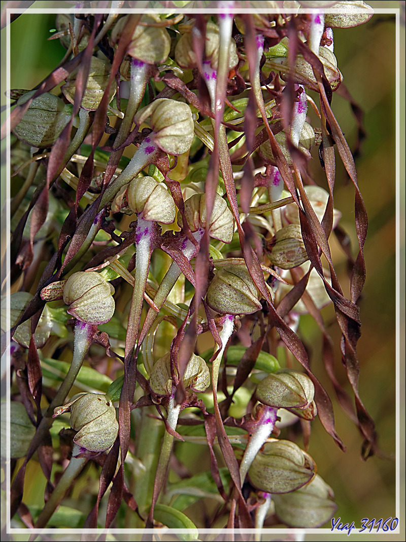 Orchidée Orchis-bouc (Himantoglossum hircinum) - Ars-en-Ré - Île de Ré - 17
