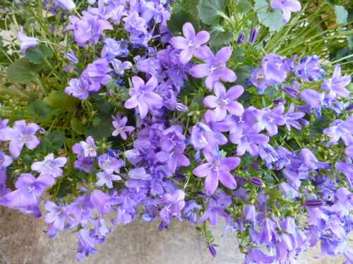 Premières fleurs du jardin pour cette année
