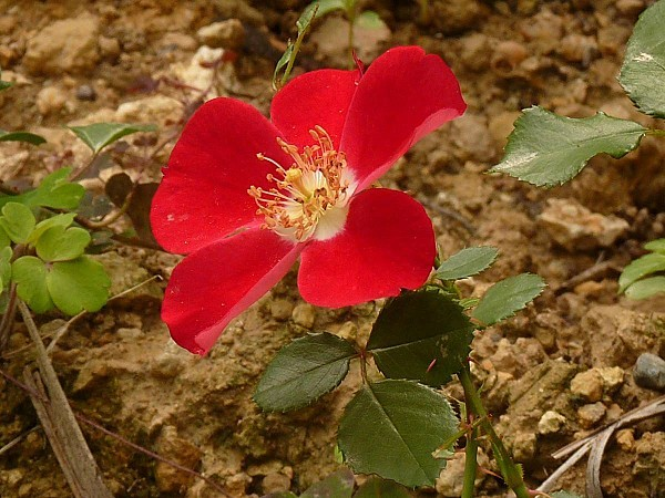 Rose Candia recto