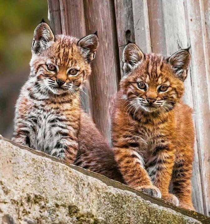 Two gorgeous lynx cubs