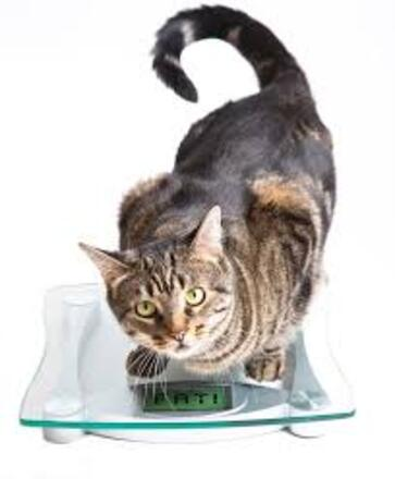 Cat on a scale. stock image. Image of animal, scales - 30284567