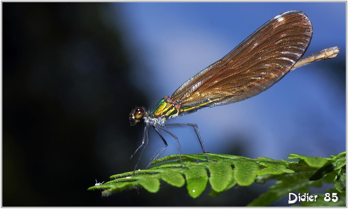 Caloptéryx Vierge (6) - Calopteryx virgo / Femelle