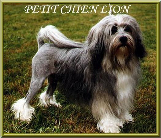Collier-pour-chien-Petit-Chien-Lion