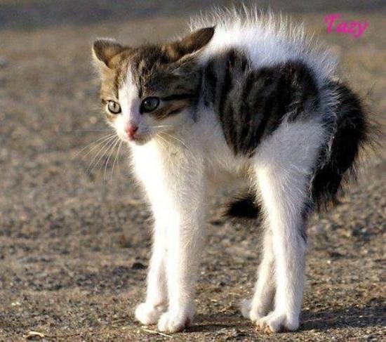 chat hérissé!