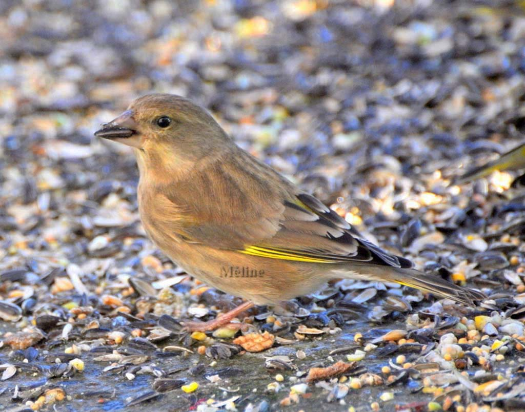 Les oiseaux de mon jardin...Suite