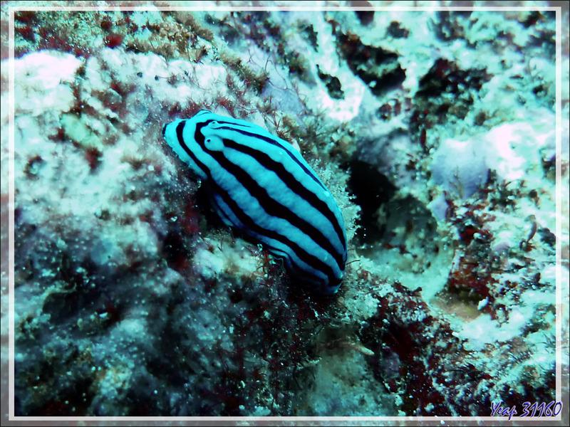 Nudibranches indéterminés - Moofushi - Atoll d'Ari - Maldives