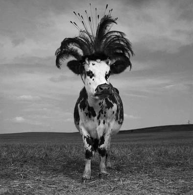 10 - Des vaches … genre amusant
