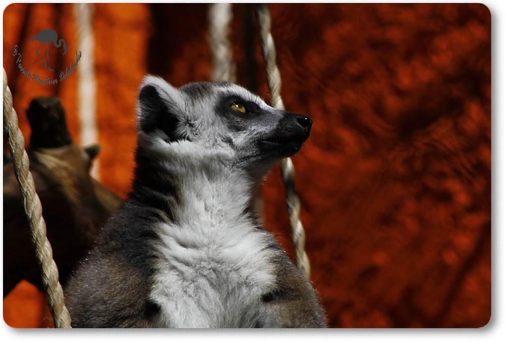 Maki Catta (Lémur cattza -Linné)...