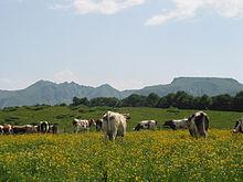 """""""Ferrandaise"""" dans le massif du Sancy"""