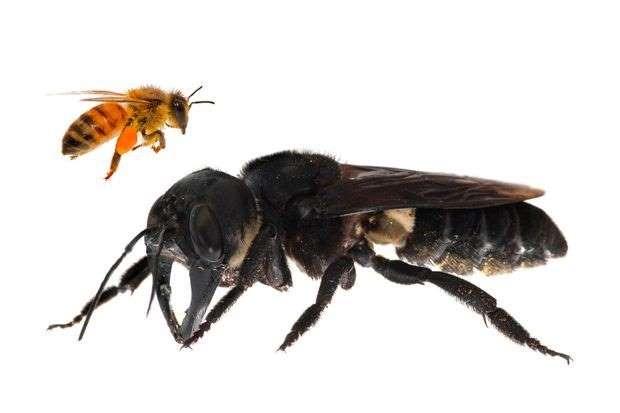 Ils ont trouvé la plus grosse abeille du monde