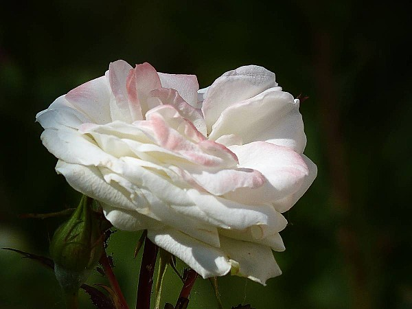 Rose blanche ourlée rose 1