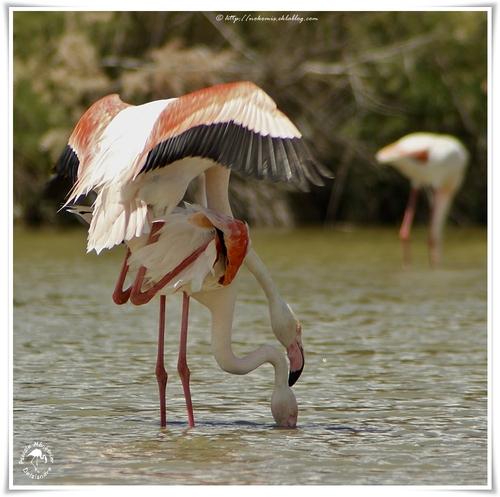 Flamants roses - Phoenicopterus roseus - Greater Flamingo (Phoenicoptériformes)