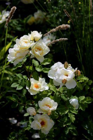 Les Roses de Warren : Breathless Charm