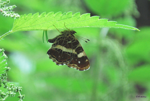 Le Carte géographique et sa chenille  (Araschnia levana)  Nymphalidae