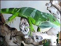 L'iguane et la jambe de bois