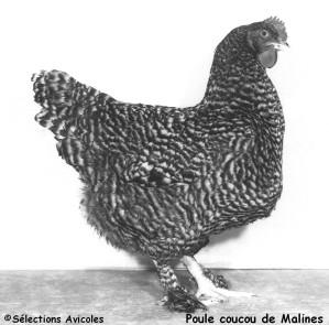 Poule coucou de Malines