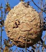Les nids de frelons asiatiques refont leur apparition