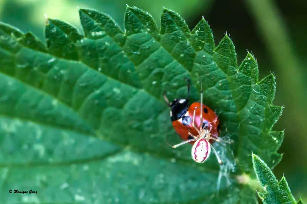 Coccinelle aux prises avec une araignée