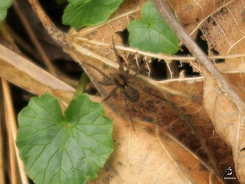 Ma première araignée extérieure de l'année : une gnaphosidae