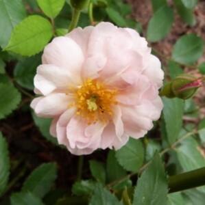 rosier cornélia - juin 2014 - première fleur (798x800)