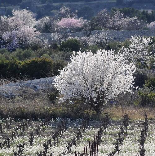 L'ametlièr que fa de flors blancas coma de papièr
