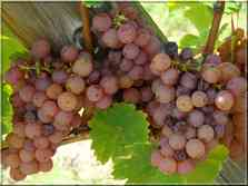 La Route des Vins vignobles d'Alsace Haut-Rhin