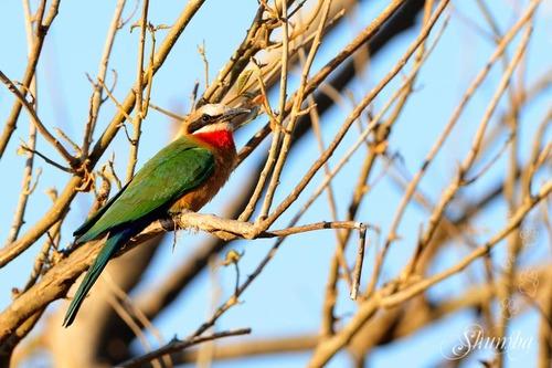 Kruger (Sept 2016): the Birds